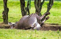 Zebra de Grevy Fotos de Stock Royalty Free