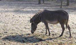 Zebra de Grevy Imagem de Stock