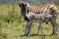 Zebra de inquietação da mãe Imagens de Stock Royalty Free