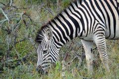 Zebra de Kruger Fotografia de Stock