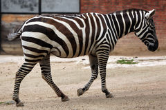Zebra de Maneless (borensis do quagga do Equus) Fotografia de Stock