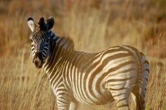Zebra in de middagzon Royalty-vrije Stock Fotografie