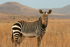 Zebra de montanha Imagem de Stock Royalty Free