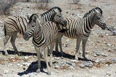Zebra de montanha Fotos de Stock