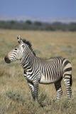 Zebra de montanha de Hartamnn Fotografia de Stock
