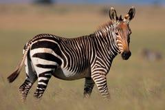 Zebra de montanha do cabo, África do Sul fotografia de stock royalty free