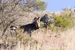 Zebra de montanha do cabo, África do Sul Imagem de Stock Royalty Free