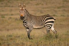 Zebra de montanha do cabo imagem de stock royalty free