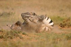 Zebra de montanha do cabo Imagens de Stock Royalty Free