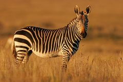 Zebra de montanha do cabo Fotos de Stock Royalty Free