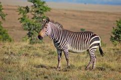 Zebra de montanha do cabo Foto de Stock Royalty Free