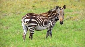 Zebra de montanha psta em perigo do cabo Fotos de Stock