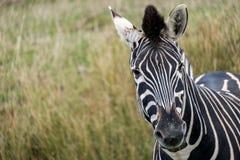 Zebra de montanha que olha à câmera, fotografada no porto Lympne Safari Park, Ashford, Kent Reino Unido fotografia de stock