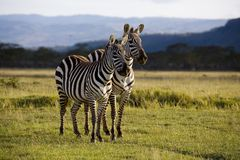Zebra de Nakuru Fotografia de Stock