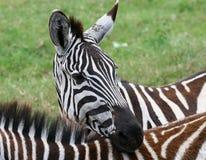 Zebra in de Ngorongoro Krater, Tanzania Stock Afbeeldingen