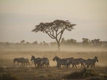 Zebra in de ochtend Stock Foto