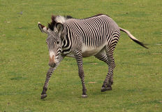 Zebra de passeio Imagem de Stock Royalty Free