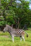 Zebra de passeio Imagem de Stock
