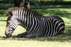 Zebra de relaxamento Imagem de Stock Royalty Free