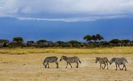 Zebra in de schemer van de avond Stock Afbeelding