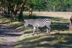 Zebra in de weiden Royalty-vrije Stock Fotografie