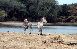 Zebra in de wildernis, Zambia, Afrika Stock Afbeelding
