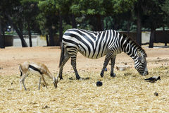 Zebra and deer Stock Photos