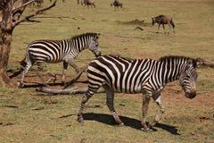 Zebra degli animali 006 Fotografia Stock