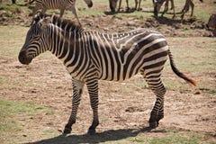 Zebra degli animali 007 Fotografia Stock Libera da Diritti