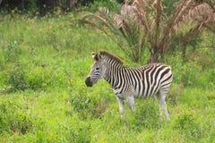Zebra del bambino Fotografia Stock Libera da Diritti