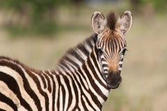 Zebra del bambino Immagini Stock Libere da Diritti