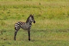Zebra del bambino Immagini Stock