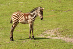 Zebra del bambino che si leva in piedi nel campo Immagini Stock
