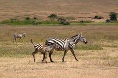 Zebra del bambino con la madre Immagini Stock Libere da Diritti