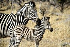 Zebra del bambino e della madre Fotografia Stock Libera da Diritti