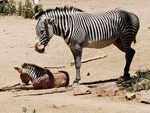 Zebra del bambino e della madre Fotografia Stock