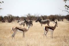 Zebra del briciolo dell'antilope saltante su priorità bassa Fotografia Stock