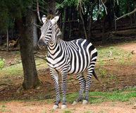 Zebra del Burchell Fotografie Stock