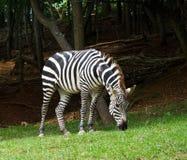 Zebra del Burchell Immagini Stock