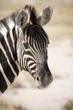 Zebra del Burchell Immagine Stock Libera da Diritti