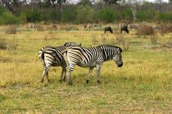 Zebra del Burchell Immagini Stock Libere da Diritti