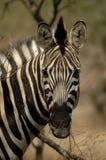 Zebra del Burchell Immagine Stock