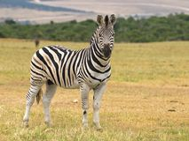Zebra del Burchell Fotografie Stock Libere da Diritti