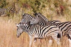 Zebra del Burchell Fotografia Stock