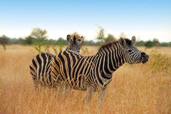Zebra del Burchell (burchellii del Equus) Immagini Stock Libere da Diritti