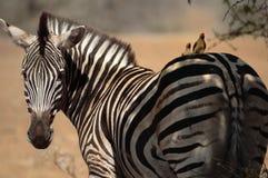 Zebra del Burchell con gli amici immagini stock libere da diritti