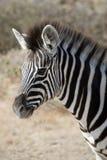 Zebra del Burchell del bambino Fotografia Stock