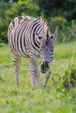 Zebra del Burchell (quagga del equus) Fotografia Stock