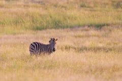 Zebra del Burchell (quagga del equus) Immagine Stock