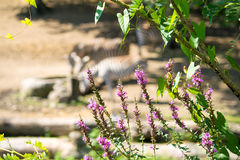 Zebra del fondo Fotografia Stock